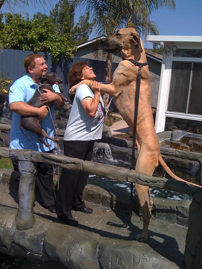 giant maso mastiff full grown
