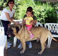 little girl sits on back of English Mastiff