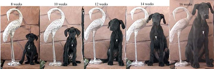 great dane growth chart pictures to pin on pinterest