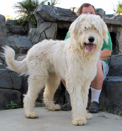 Irish Wolfhound Poodle combination